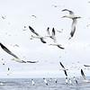 Hundreds of Gannets