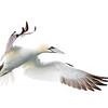 White on White-Gannet in Flight