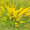 Dandelions in Lush Green Field