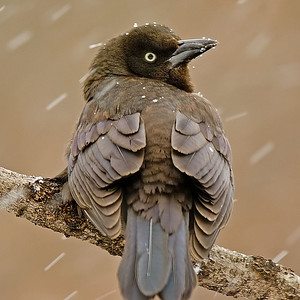 Northern Grackle