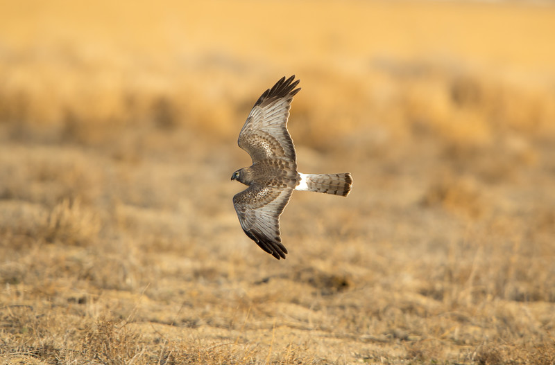 """Northern Harrier aka """"The Gray Ghost"""""""