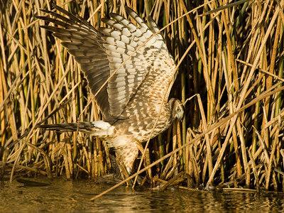 Harrier Hawk With Kill (Duck Hen)