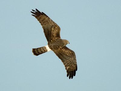 Harrier Hawk, Sacramento NWR
