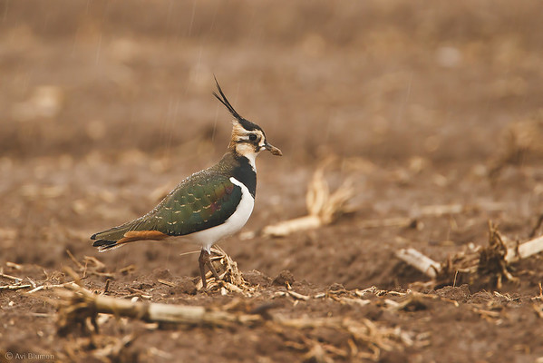 Northern Lapwing in the rain קיווית מצוייצת בגשם