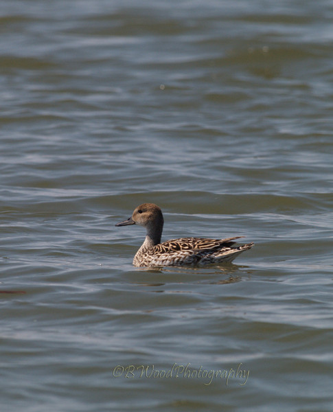 AA 09AP2484<br /> <br /> Female Northern Pintail.