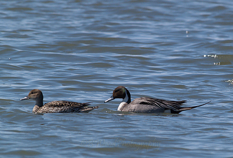 AA 09AP2475<br /> <br /> Male and Female Northern Pintail.