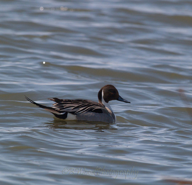 AA 09AP2594<br /> <br /> Male Northern Pintail.