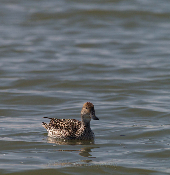 AA 09AP2579<br /> <br /> Female Northern Pintail.