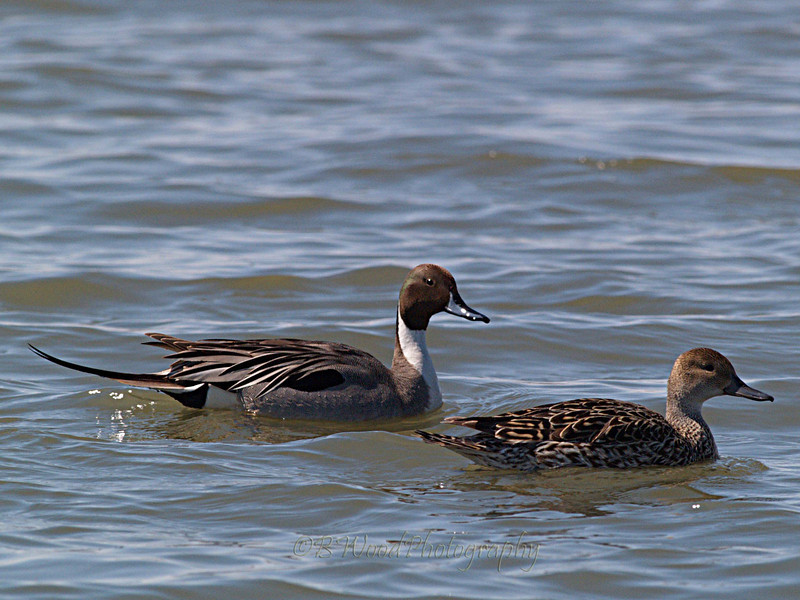 AA 09AP2494<br /> <br /> Male and Female Northern Pintail.