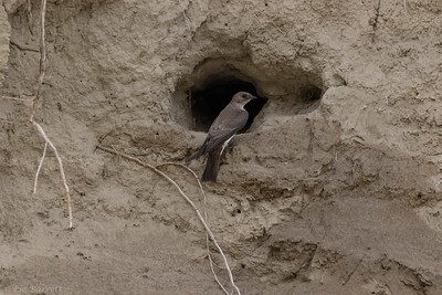 409_NR-winged Swallow