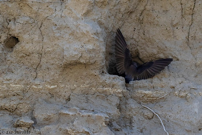 0U2A0371_N Roughed winged swallow
