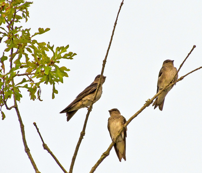Northern Rough-Winged Swallow<br /> Little Ocmulgee State Park