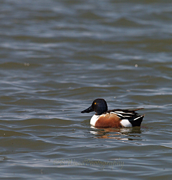 AC 09AP2430  Northern Shoveler (male).