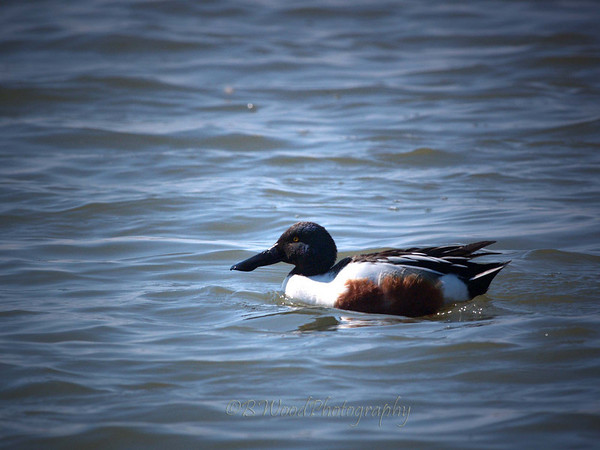 AC 09AP2426  Northern Shoveler (male).