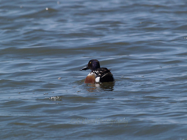 AC 09AP2428  Northern Shoveler (male).