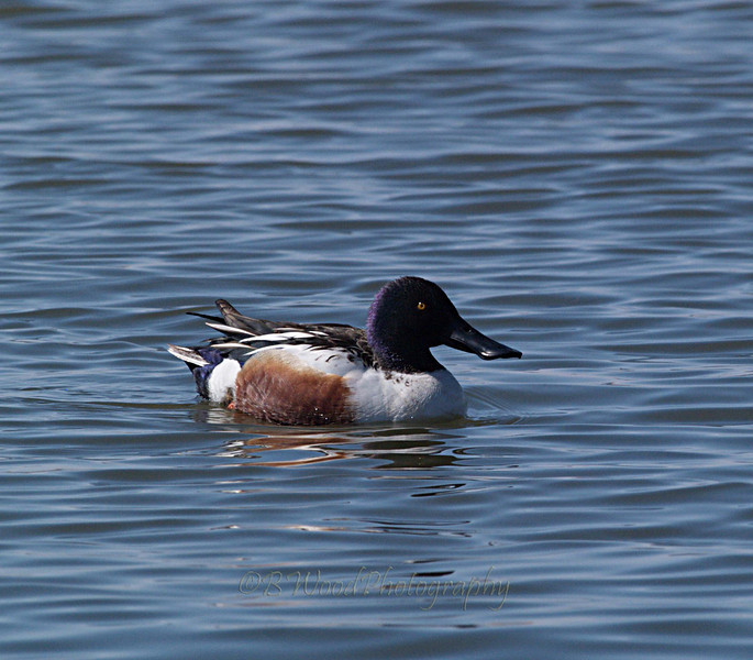 AC 09AP2337  Northern Shoveler (male).