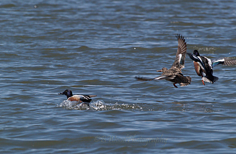 AC 09AP2535  Northern Shoveler male, female and male landing.