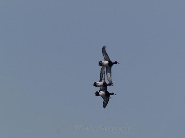 AC 09AP2459  Northern Shoveler's in flight.