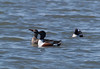 AC 09AP2408<br /> <br /> Northern Shoveler (male & female).