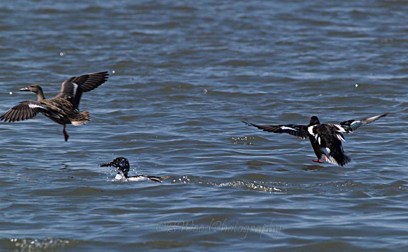 AC 09AP2536  Northern Shoveler famale (left) and males landing.