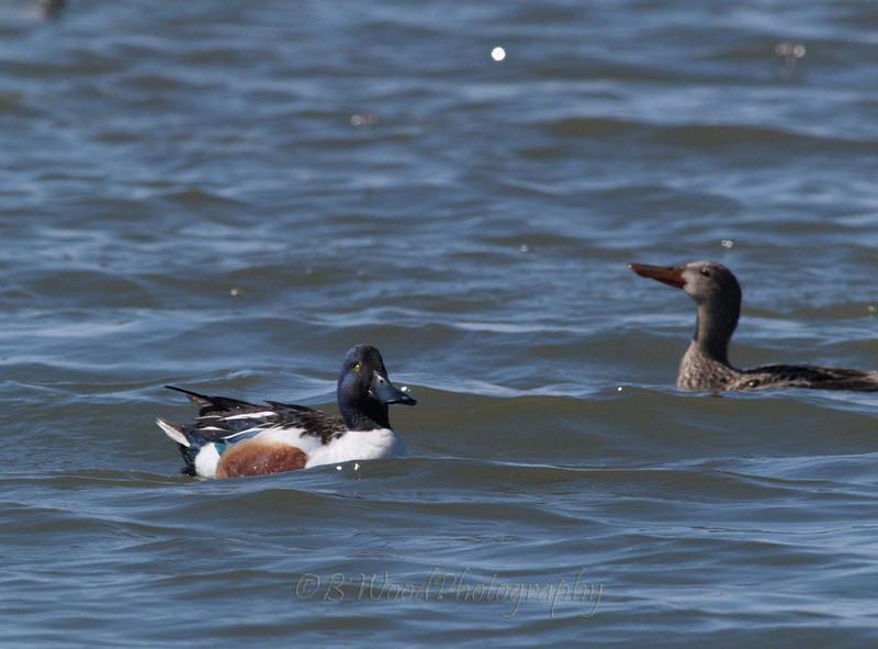 AC 09AP2418  Northern Shoveler's male (L) and female (R).