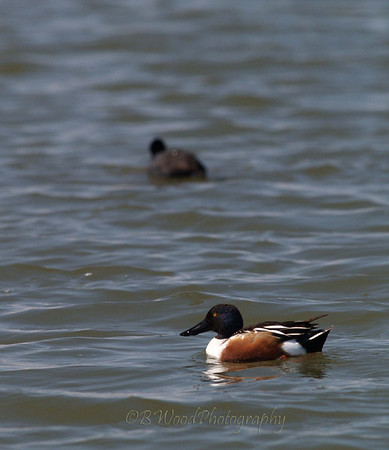 AC 09AP2439  Northern Shoveler (male) with an American Coot (Fulica americana) in the background.