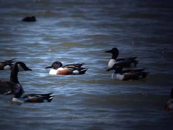 AC 09AP2410  Northern Shoveler's and Ganada Goose.