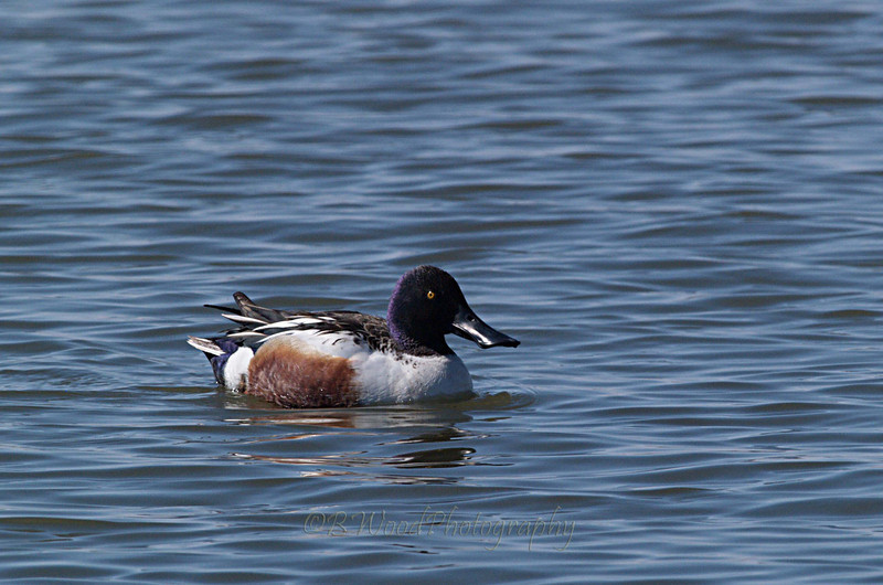 AC 09AP2335  Northern Shoveler (male).