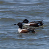 AC 09AP2599<br /> <br /> Northern Shoveler (males).<br /> <br /> feed by dabbling for plant food, often by swinging its bill from side to side and using the bill to strain food from the water. It also eats mollusks and insects in the nesting season.<br /> <br /> The nest is a shallow depression on the ground, lined with plant material and down, usually close to water.<br /> <br /> This is a fairly quiet species. The male has a clunking call, whereas the female has a Mallard-like quack.