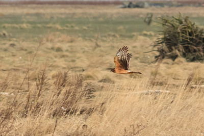 Northern Harrier, formerly Marsh hawk