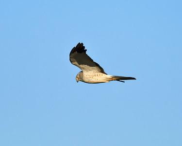 Male Northern Harrier