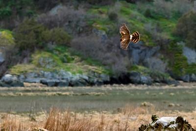 Northern Harrier, formerly Marsh hawk