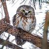 2018Jan14_Saw-wet Owl CLNP_0387 C