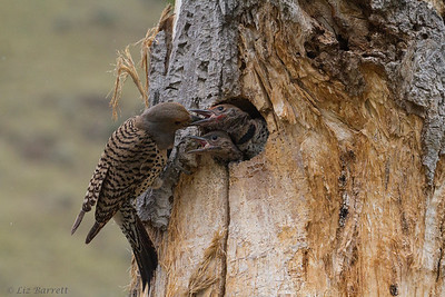 _MG_4773 _Northern Flicker family