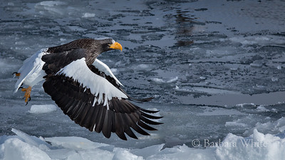 Steller's Sea Eagle In His Element
