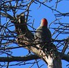 Red Bellied Woodpecker - Little Bay