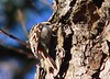 Brown Creeper - Long Road