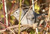 Catbird at Long Road