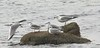 November 29 -- West Island Bonapartes Gulls with friend