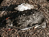 Dead White-winged Scoter at State Reservation on West Island