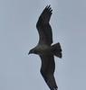 Osprey on Acushnet River