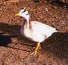 Captive but happy Bar-headed Goose