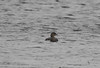 Pied-billed Grebe at Lake Street   11/28/19