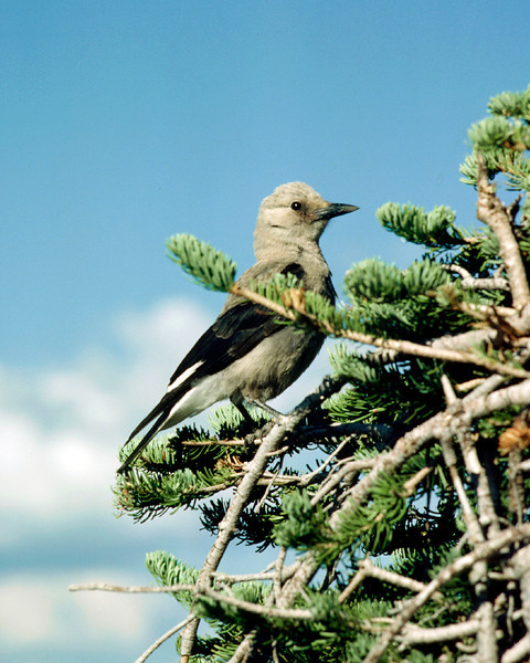 North America, USA, Washington, Paradise. Mount Rainier National Park, Clark's Nutcracker