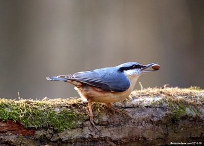 Red-breasted Nuthatch (Sitta canadensis) 007
