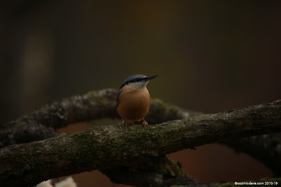 Red-breasted Nuthatch (Sitta canadensis) 002