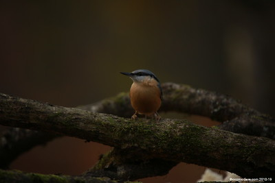 Red-breasted Nuthatch (Sitta canadensis) 001