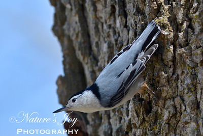 White Breasted Nuthatch'