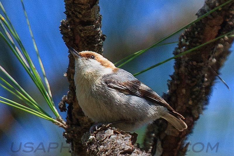 Brown Headed Nuthatch (b1412)