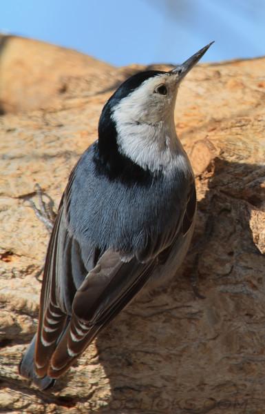 White Brested Nuthatch (b1431)